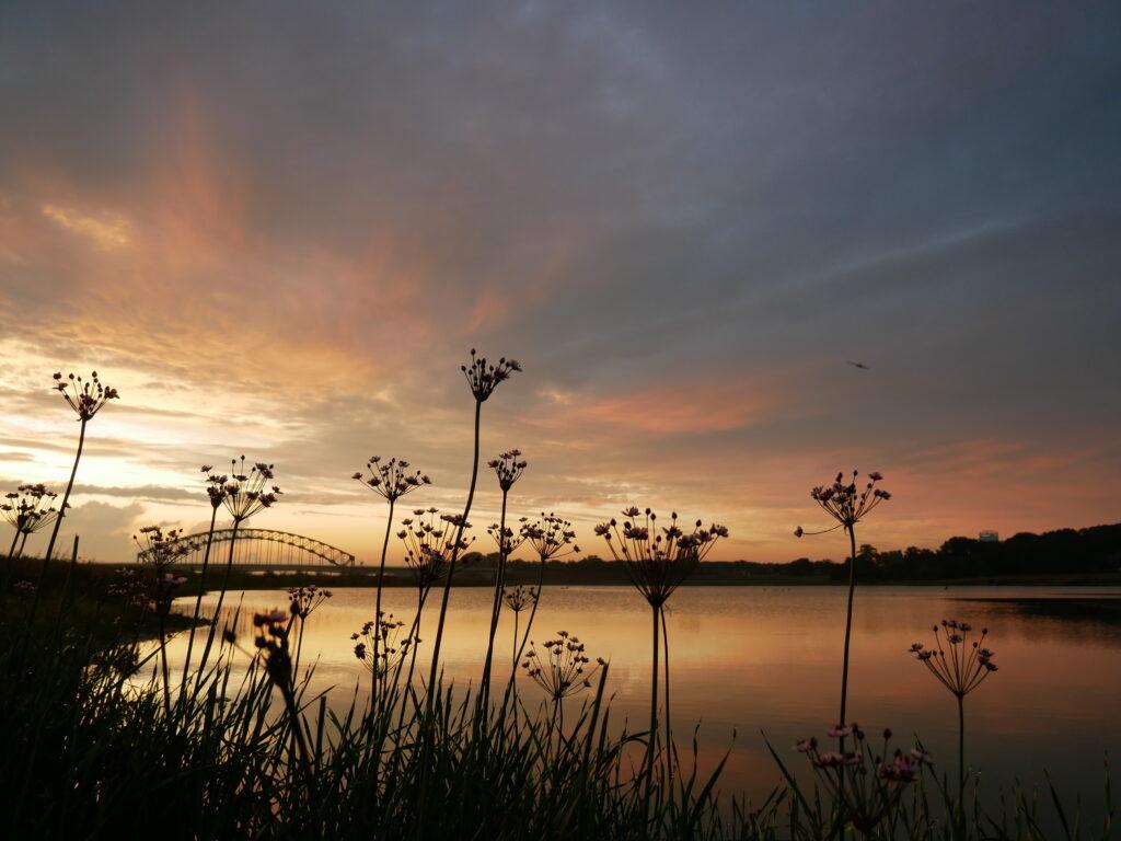 Zeldzame zwanenbloemen langs de IJssel