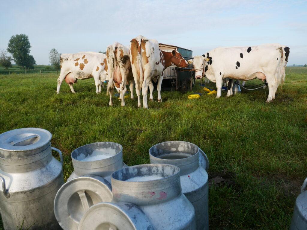 Koeien aan de ouderwetse melkmachine in uiterwaarden Zalk