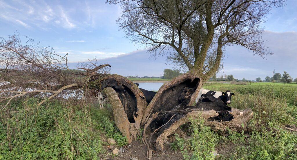 Oude wilg langs de IJssel is zwaar gehavend door brandstichting.