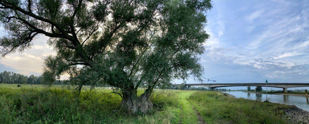 oude wilg langs de IJssel