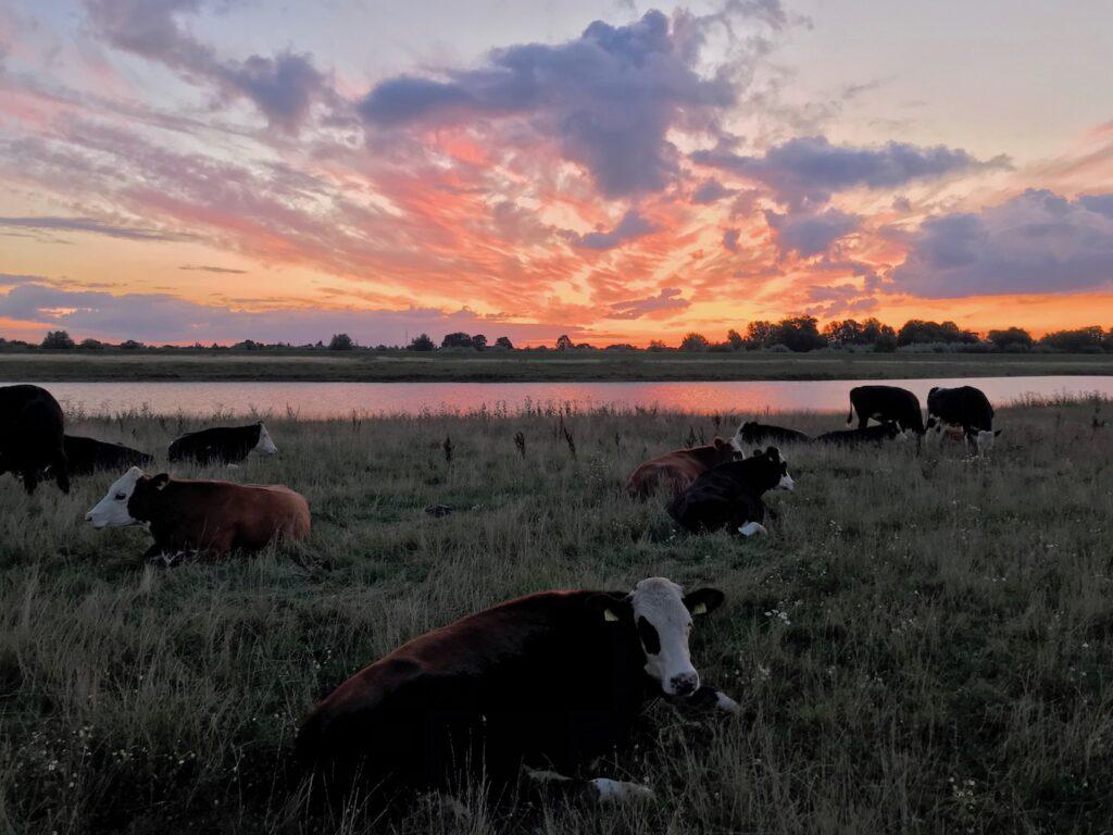 Koeien in Voerman landschap